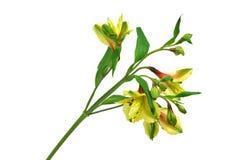 Alstroemeria flower branch. Branch yellow alstroemeria flower. Isolated Stock Photos