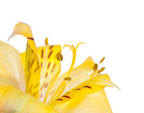 Alstroemeria flower close-up. Abstract floral background Stock Image