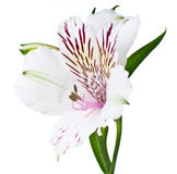 Alstroemeria flower closeup, isolated Royalty Free Stock Photos