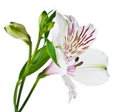 Alstroemeria flower closeup, isolated Royalty Free Stock Photography