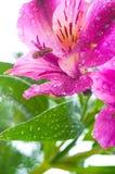 Alstroemeria/ Flower and drop dew. Blossom, botany, bright Stock Photo