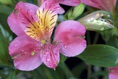 Alstroemeria flower Stock Images