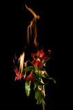 Alstroemeria flower on fire Stock Photography