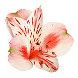 Alstroemeria flower Royalty Free Stock Image