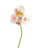 Alstroemeria flower Royalty Free Stock Photography