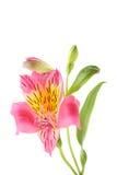 Alstroemeria flower. Pink alstroemeria flower isolated on a white Stock Photos