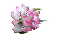 Alstroemeria flower. Pink Alstroemeria  Peruvian Lily flower isolated on white background Stock Image