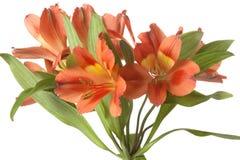 Alstroemeria flower. On white background Stock Image