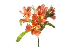 Alstroemeria flower. On white background Royalty Free Stock Photo