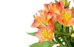 Alstroemeria Flowers. Beautiful alstroemeria flowers with copy space Royalty Free Stock Photo