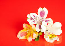 Alstroemeria flowers. Laid out on a glossy red background Royalty Free Stock Photography