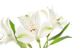 Alstroemeria flowers Royalty Free Stock Image