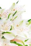 Alstroemeria flowers Stock Image