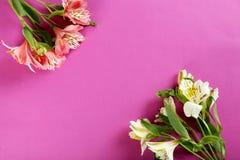 Alstroemeria flowers. Beautiful alstroemeria flowers on a pink background Stock Image