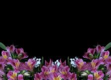 Alstroemeria flowers on black background royalty free stock photos