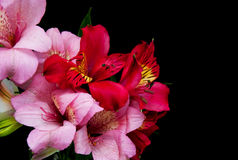 Alstroemeria flowers on a black Stock Photos