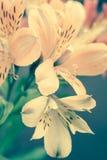 Alstroemeria flowers Royalty Free Stock Photos