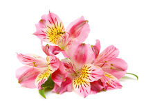 Alstroemeria flowers Stock Images