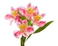 Alstroemeria flowers Stock Photos