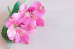 Alstroemeria flowers on cream color background. royalty free stock photography