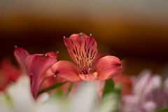 Alstroemeria flowers delicate orange close-up macro. Alstroemeria flowers delicate multicolored bright orange close-up macro blur royalty free stock photography