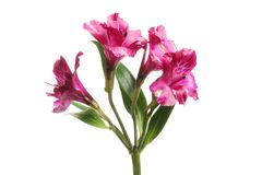 Alstroemeria flowers and foliage. Purple alstroemeria flowers and foliage isolated against white stock photo