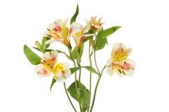 Alstroemeria flowers and foliage Stock Photo