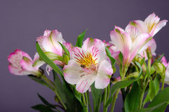 Alstroemeria Stock Photo