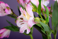 Alstroemeria flowers Stock Photo