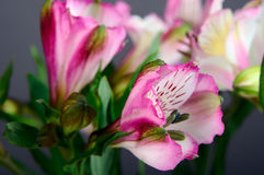 Alstroemeria flowers Stock Photography