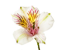 Alstroemeria flowers. Isolated on white background royalty free stock image