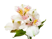 Alstroemeria flowers Royalty Free Stock Images