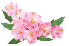 Alstroemeria Flowers. Pink Alstroemeria Peruvian lily flowers isolated on white background Royalty Free Stock Images