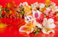 Alstroemeria flowers on a red background. Flowers are a beautiful bright red background in the alstroemeria Stock Photo