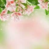 Alstroemeria flowers on spring background Stock Images