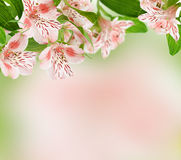 Alstroemeria flowers on spring background. For holiday card Royalty Free Stock Photography
