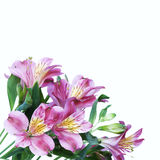 Alstroemeria flowers Royalty Free Stock Image