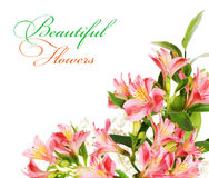 Alstroemeria flowers Royalty Free Stock Photo