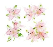 Alstroemeria flowers on white background Stock Image