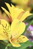 Alstroemeria giallo Fotografie Stock Libere da Diritti