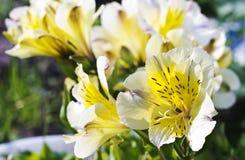 Alstroemeria giallo Fotografia Stock