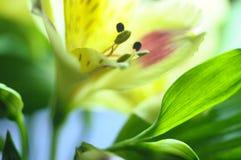 Alstroemeria giallo del fiore Immagine Stock
