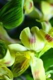 Alstroemeria giallo del fiore Immagini Stock Libere da Diritti