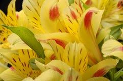 Alstroemeria giallo del fiore Fotografia Stock