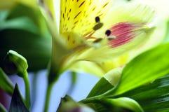 Alstroemeria giallo del fiore Fotografia Stock Libera da Diritti