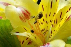 Alstroemeria giallo del fiore Fotografie Stock