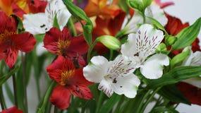 Alstroemeria - giglio delle inche Fotografia Stock