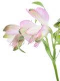 Alstroemeria Härlig blomma på ljus bakgrund Arkivbilder