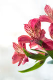 Alstroemeria haemantha Zdjęcia Royalty Free