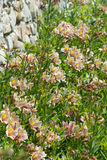 Alstroemeria hybride lat Alstroemeria bloem łóżko w De Buurt samochodzie dostawczym De Muur Zdjęcia Royalty Free